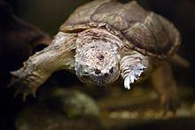 Chelydra serpentina wikipedia for Incubazione uova tartaruga