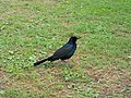 Boat-tailed Grackle - Volusia County Florida.jpg