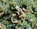 Bombus niveatus female 1.jpg
