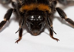 Bombus terrestris head in detail.jpg