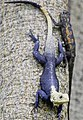 Bonn zoological bulletin - Agama picticauda.jpg