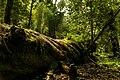 Bosque en Huerquehue.jpg