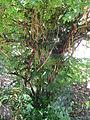 Botanical Garden of Peradeniya 23.JPG