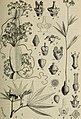 Botanische Jahrbücher für Systematik, Pflanzengeschichte und Pflanzengeographie (1911) (20215102900).jpg