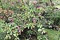 Bougainvillea spectabilis 13zz.jpg