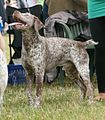 Bourbonnais Pointer 2.JPG