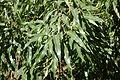 Brachychiton rupestris - Leaning Pine Arboretum - DSC05430.JPG