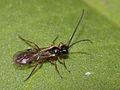 Braconidae-Alysiinae (Dacnusa sp. ?) (9687650000).jpg