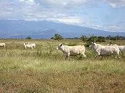 Brahman cattle.