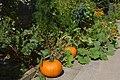 Brampton ON Homegrown-Pumpkins 2017-09-02.jpg