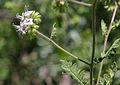 Branching phacelia Phacelia ramosissima.jpg