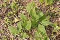 Brassica napus young plant, koolzaad jonge plant.jpg