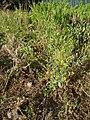 Brassica rapa sylvestris L. (AM AK299044-1).jpg