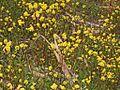Brassicaceae - Sinapis arvensis (4).JPG