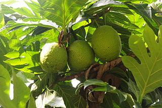 Breadfruit (Artocarpus altilis), Malaysia