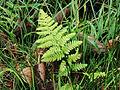 Brede stekelvaren (Dryopteris dilatata) in Wikelslân.JPG