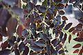 Breynia Disticha (Snow Bush) (28844721296).jpg
