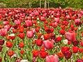 Britzer Garten - Tulipan 2013 - geo.hlipp.de - 36159.jpg
