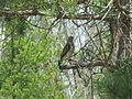 Broad-winged Hawk Seney NWR.jpg