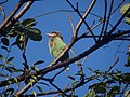 Brown-headed Barbet (Large Green Barbet) - Psilopogon zeylanicus - DSC07055.jpg