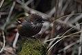 Brown-throated Fulvetta or Ludlow's Fulvetta Eaglenest WLS Arunachal Pradesh India 21.03.2019.jpg