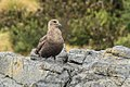 Brown ( Southern ) Skua - Stewart Island - New Zealand (38531829584).jpg