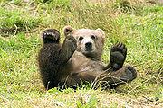 Spelende bruine beer (Ursus arctos)