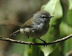 Brown Gerygone lam08.jpg