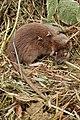 Brown Rat (Rattus norvegicus), Dead - Kitchener, Ontario.jpg