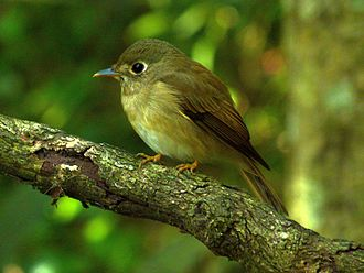 Brown-breasted flycatcher - The legs are yellowish orange and the lores are pale