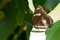 Brown butterfly (5474762778).jpg