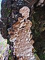 Brown fungus (21406659823).jpg