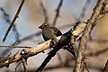 Brown headed cowbird Washington april 2019 1.jpg