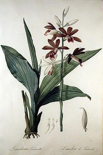 Charles Bennet, 4th Earl of Tankerville - Orchid named for Charles' wife Emma. Drawing by Pierre-Joseph Redouté