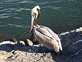 Brown pelican with fishing line.jpg