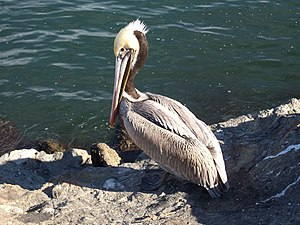 English: Brown pelican on a rock jetty in Long...