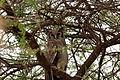 Bubo lacteus -Tarangire National Park, Tanzania-8 (1).jpg