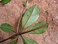 Buchenavia tetraphylla - Flickr - Tarciso Leão (1).jpg