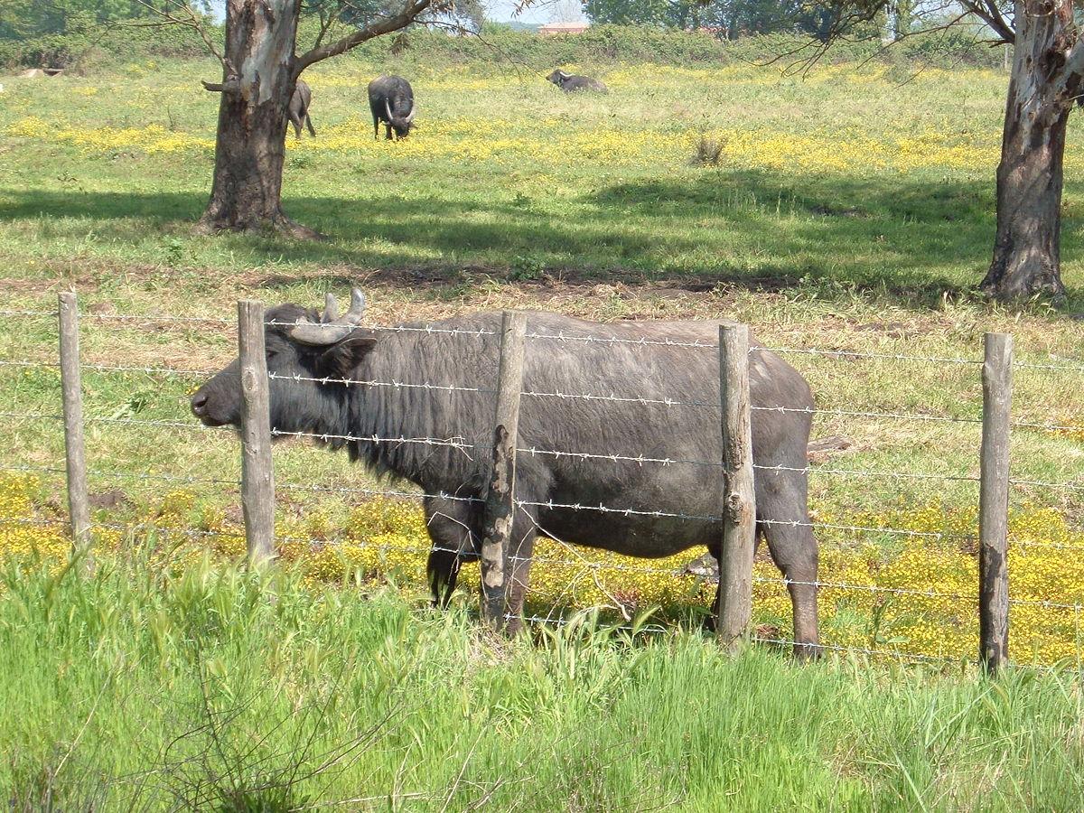 italian mediterranean buffalo wikipedia