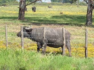 Italian Mediterranean buffalo - Buffalo in the Agro Pontino
