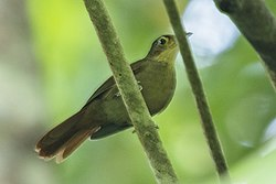 Buff-throated Foliage-gleaner - Rio Tigre - Costa Rica MG 7738 (26434929660).jpg