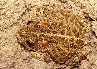 Natterjack toad - Image: Bufo Calamita Sand