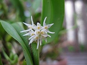Bulbophyllum stenobulbon - Flickr 003.jpg