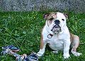 Bulldog2f.jpg