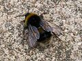 Bumblebee (3897180092).jpg