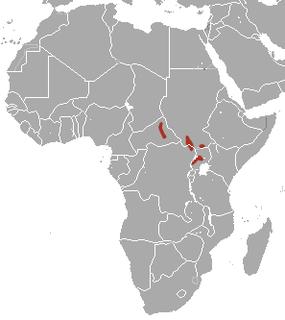 Bunyoro rabbit species of mammal