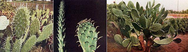 Постепенное превращение «вооружённого» кактуса в бесколючковый, в процессе селекции, по изданию 1914 года, том I.
