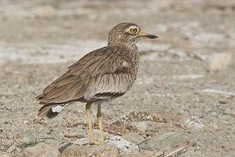 Stone-curlew - Image: Burhinus senegalensis