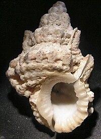 Bursa tuberosissima 002