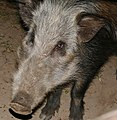 Bushpig (Potamochoerus larvatus) big sow close-up ... (32261030376).jpg